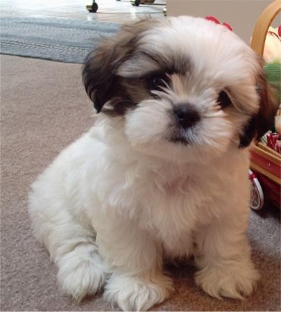 shihtzu-cutie-puppy