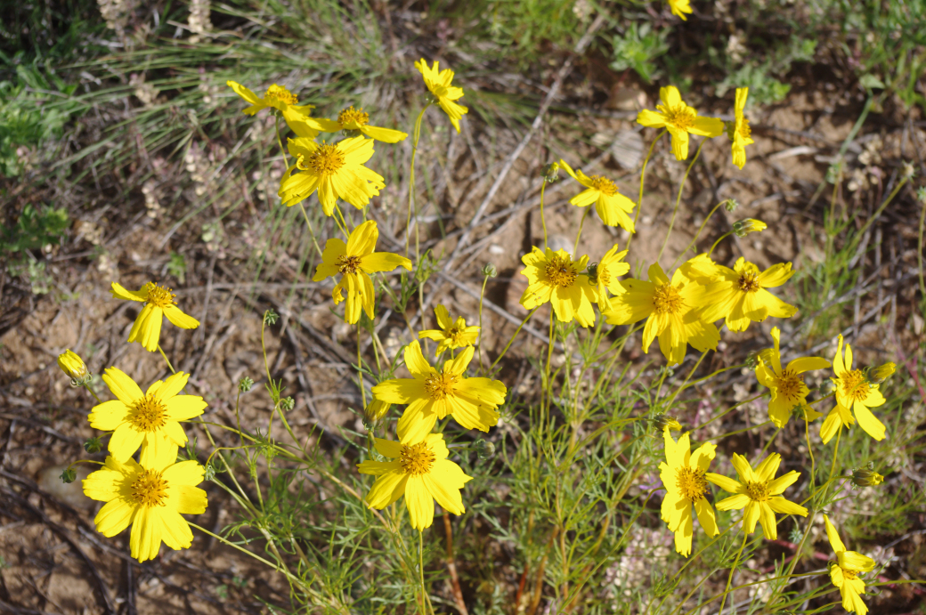 yellow spring Navajo Tea flowers