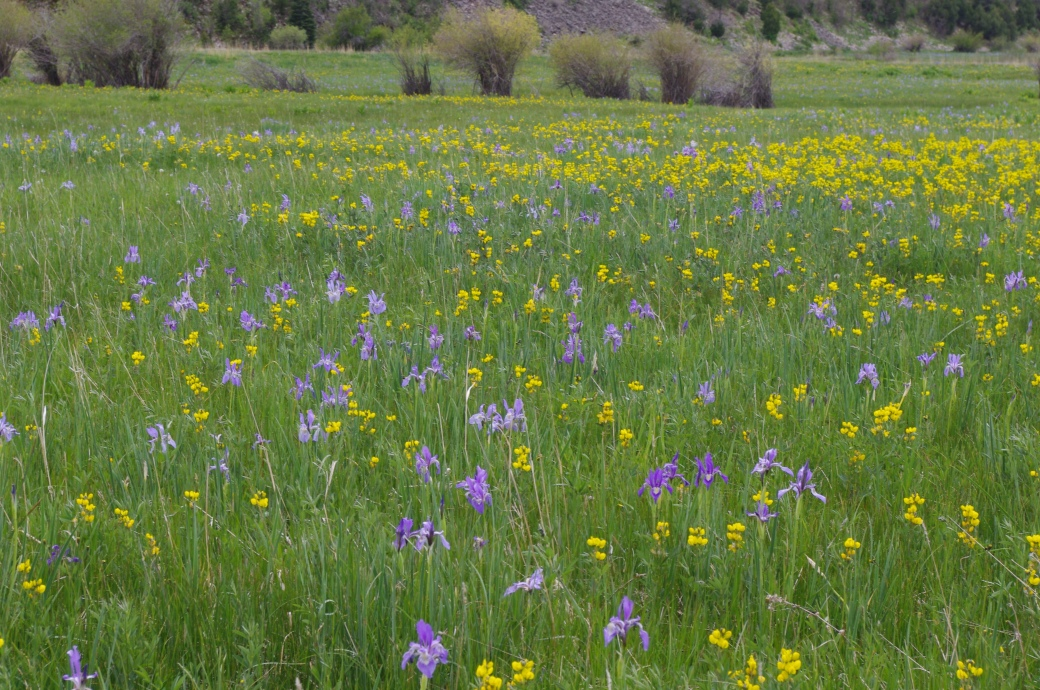 Field of Wild Iris near Stonewall